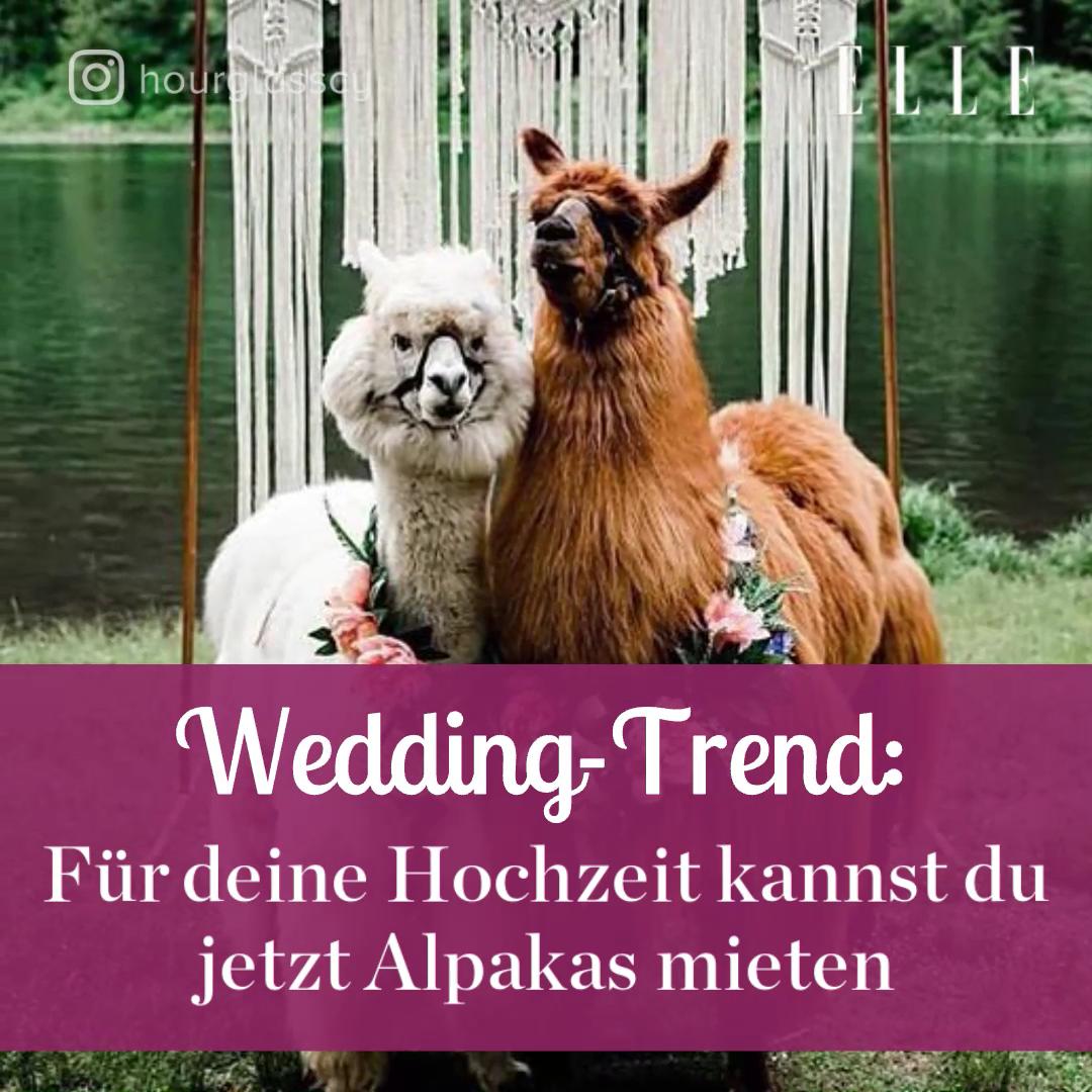 Fur Deine Hochzeit Kannst Du Jetzt Alpakas Mieten Video Video Alpakas Hochzeit Pferde Videos