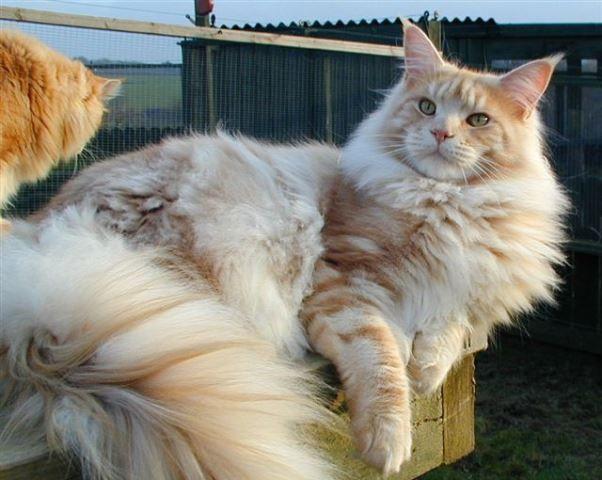 3a14539bf gatos-gigantes-6-racas-que-voce-precisa-conhecer-5 … | Animais e ...