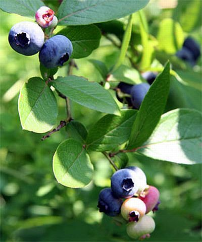 Blueberry Leaf Tea Properties And Uses Good For Tired Eyes From Computer Stress As It Regenerates Rhodopsin Retinal Purple Strengthens The