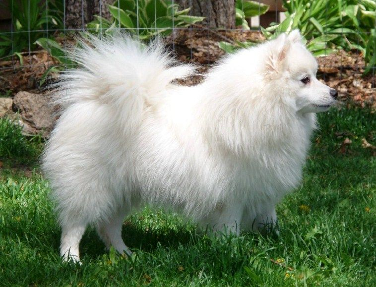 Some Japanese Spitz could also suffer from tear staining.
