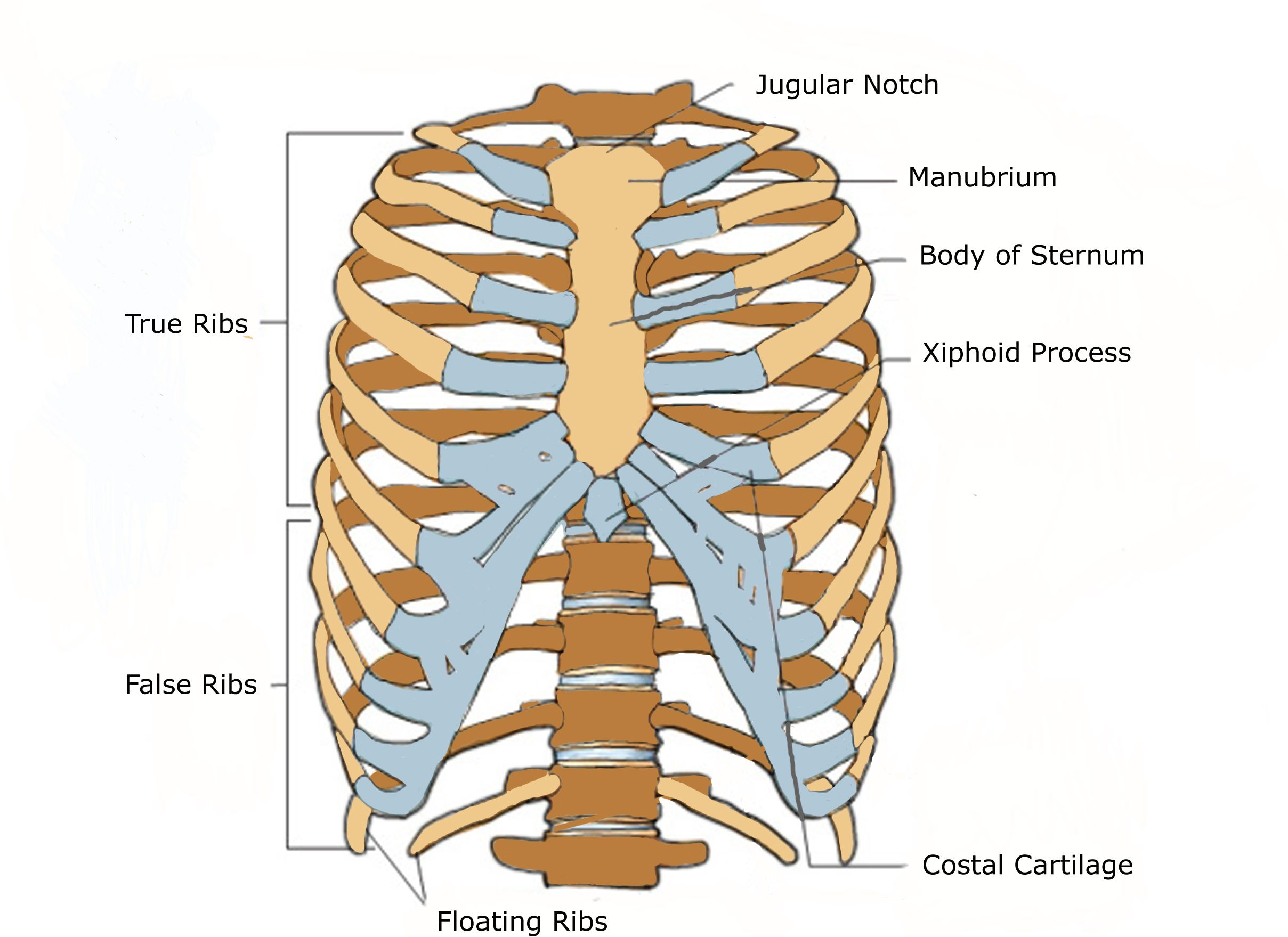 Cervicle Vertebrae And Ribs Diagram Theremin Schematic Anterior View Of A Human Thoracic Cage Andp Anatomy