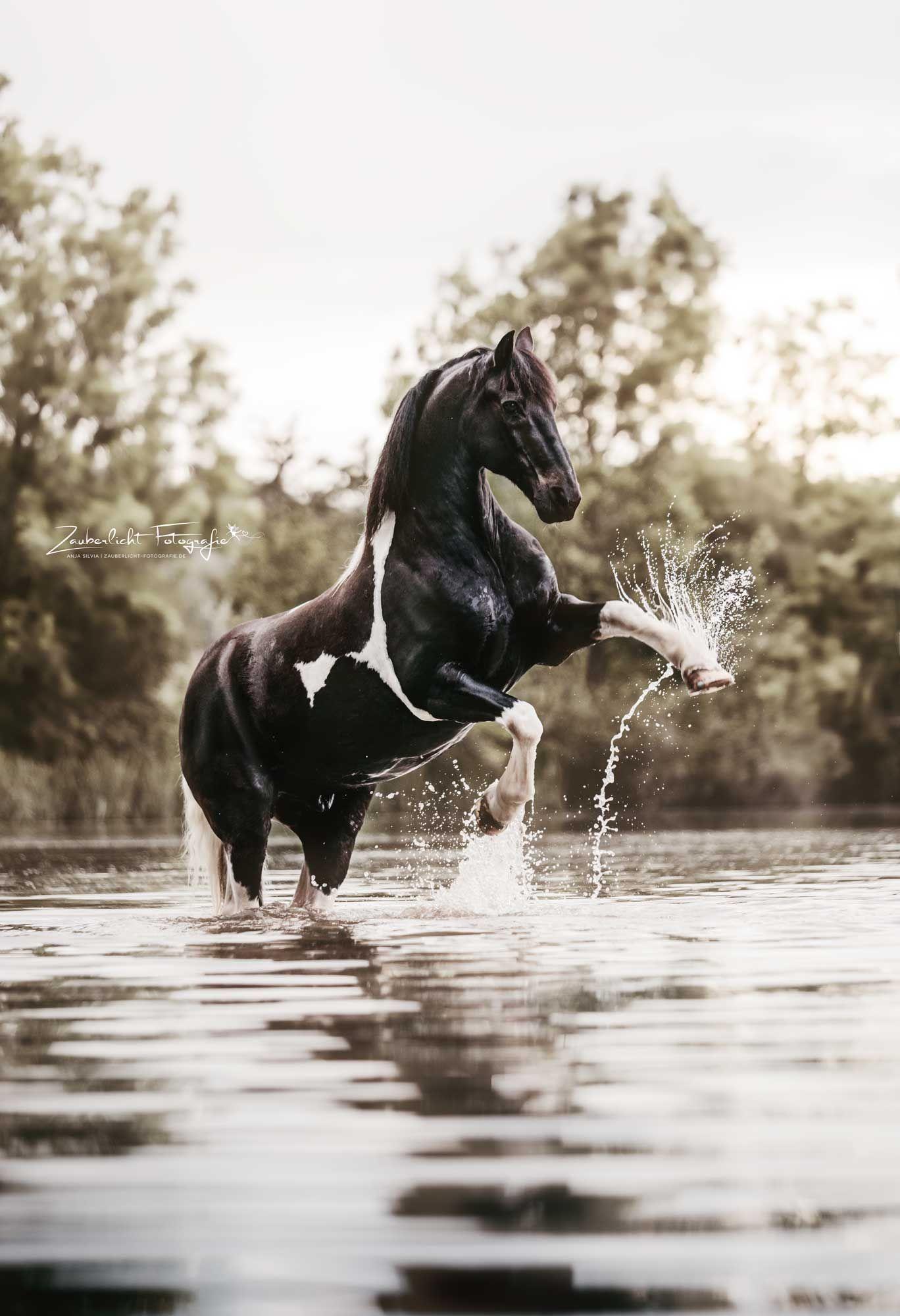 Steigendes Pferd im Wasser –   Beim Shooting im Wasser war auch dieser tolle Barockpinto dabei. Pferdefotografie von Zauberlicht Fotografie #rearingho…