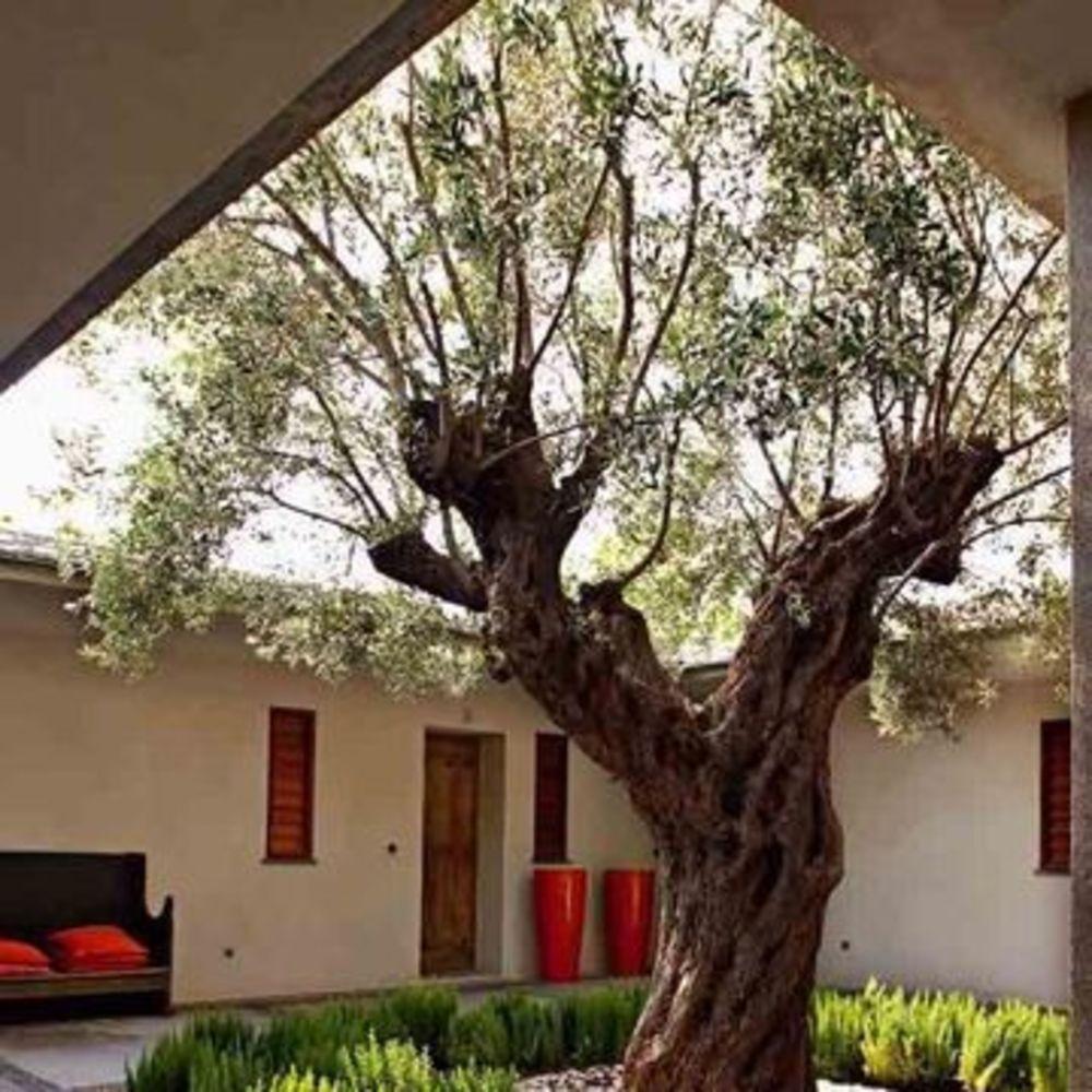 Il Cultive L Olivier un olivier dans mon jardin : 7 photos à voir | jardins