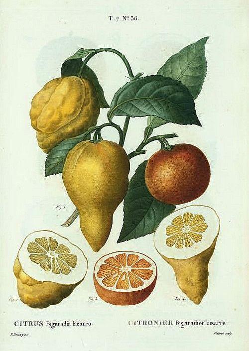 Pierre Redoute Bitter Orange 1801 16