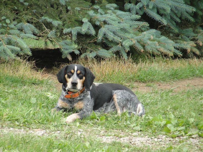 45+ Blue Tick Beagles For Sale In Pa in 2020 Beagle dog