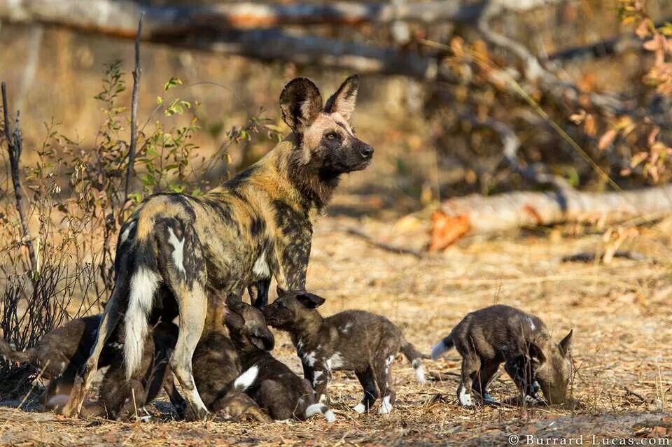 Wilddog puppies