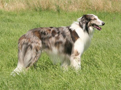 Cross Between A Collie And A Borzoi Attractive Dog Collie