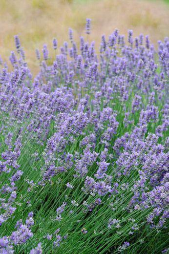 Lavandula X Intermedia Seal Lavender Lavender Plant