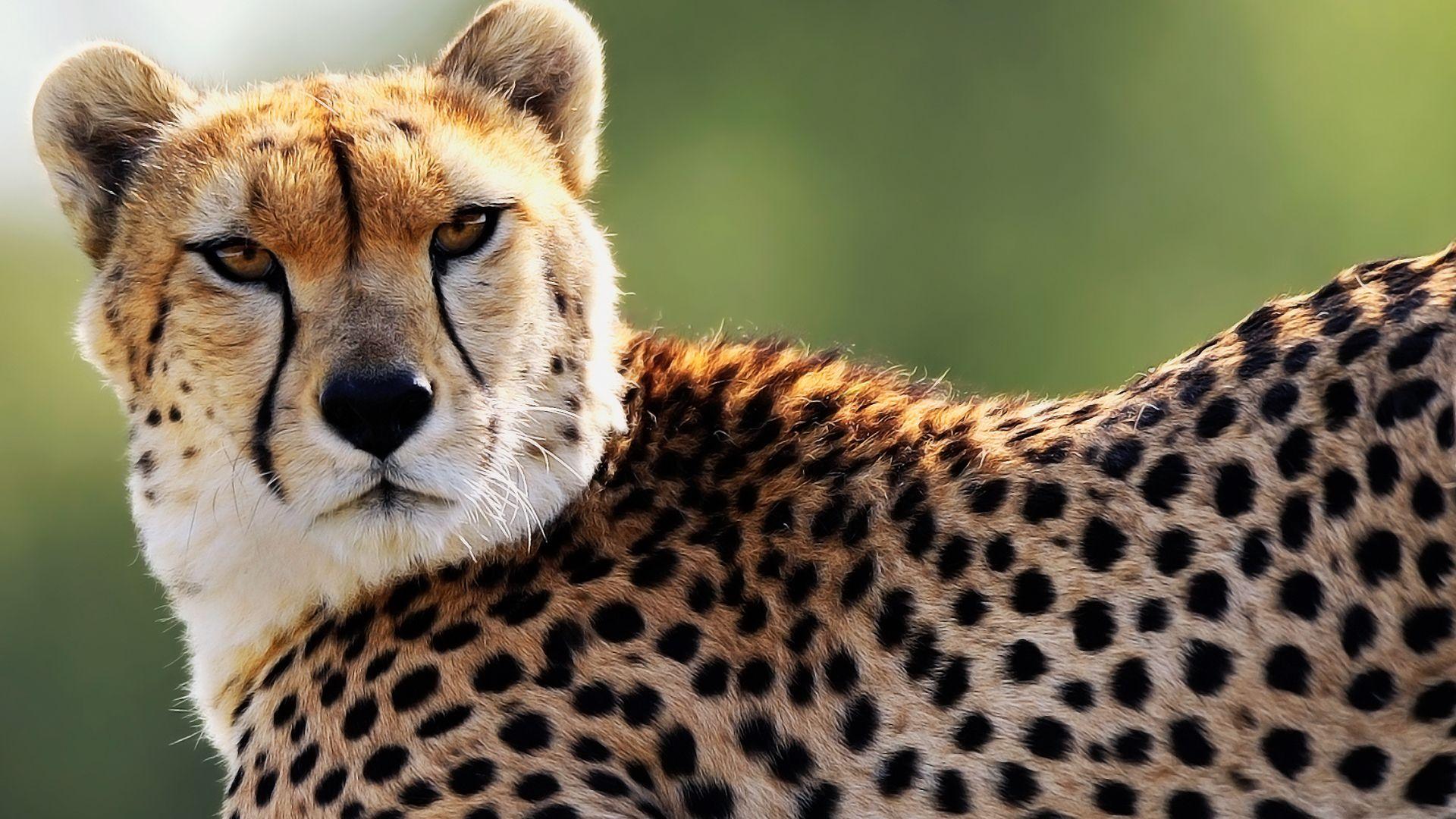 Jaguar face hd desktop wallpaper fullscreen wallpapers pinterest cheetah face hd wide wallpaper for widescreen wallpapers hd wallpapers voltagebd Image collections