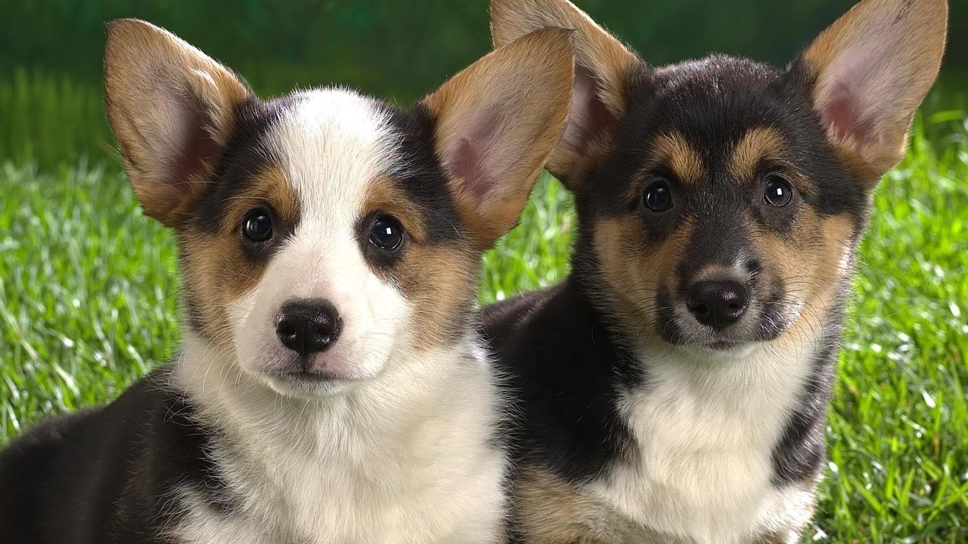 Cute little pups (1920x1080, little)  via www.allwallpaper.in