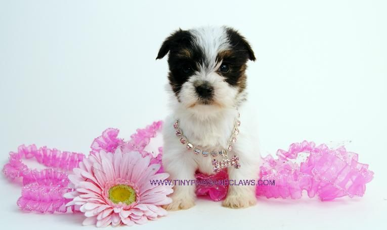 White Yorkie Puppies Paisley Parti Yorkie Female White Yorkie Yorkshire Terrier Pictures Yorkie Puppy Yorkie Puppy For Sale Teacup Yorkie Puppy