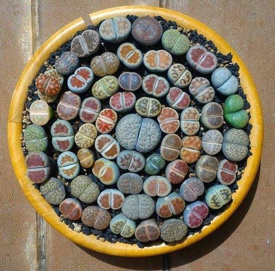 200 gemischt Sukkulenten samen-Lithops Samen, Raw Stein Kaktus Samen Vorbauten Topfblumen
