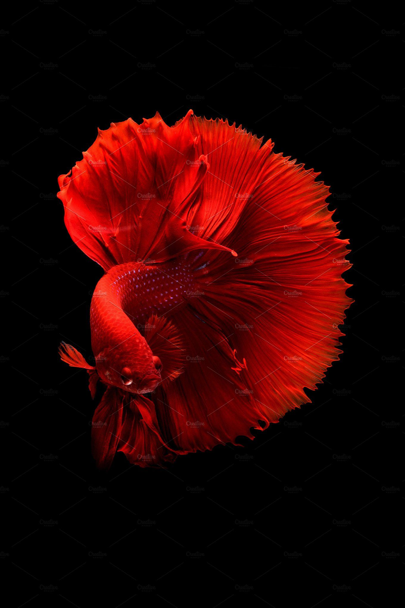 Siamese Betta Fish Betta Fish Types Dragon Fish Betta Fish Tank