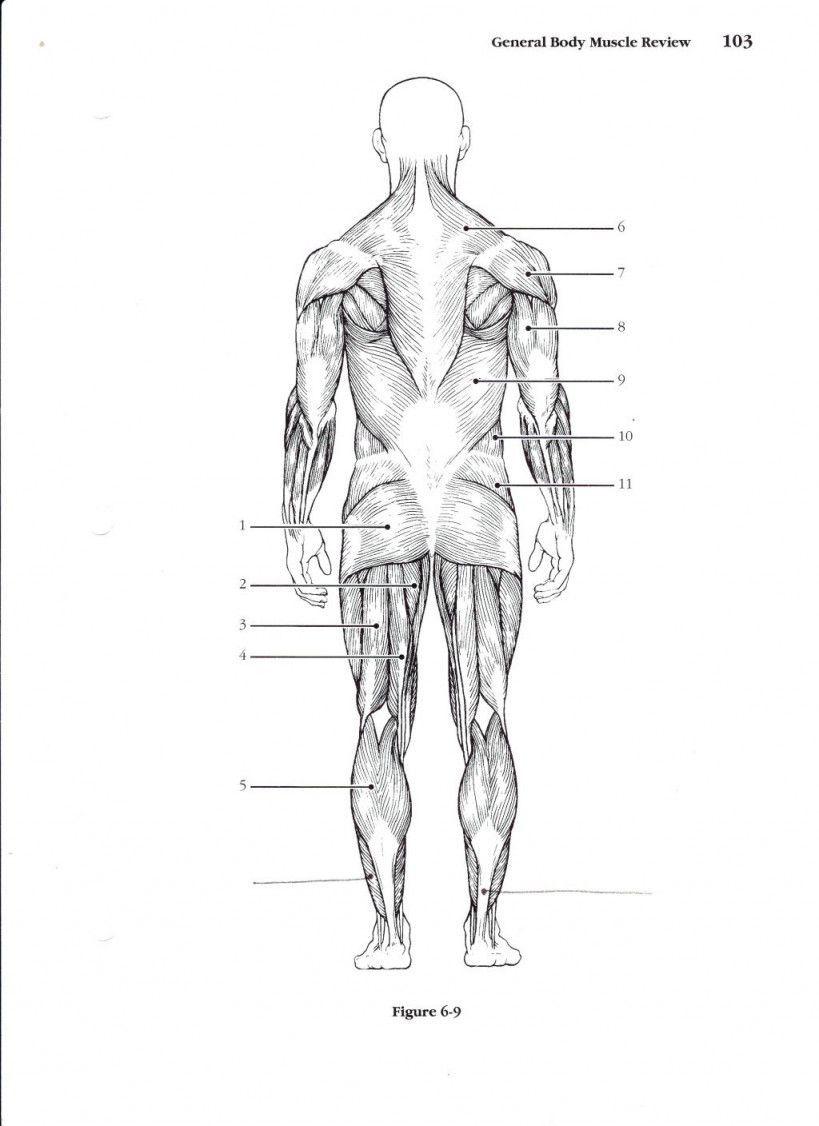 Muscular System Worksheet