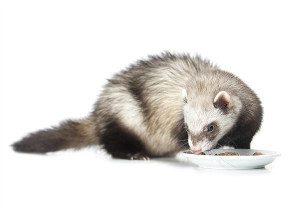 What Do Ferrets Eat A Guide To Feeding Your Ferret What Do Ferrets Eat Ferret Diet Cat Nutrition
