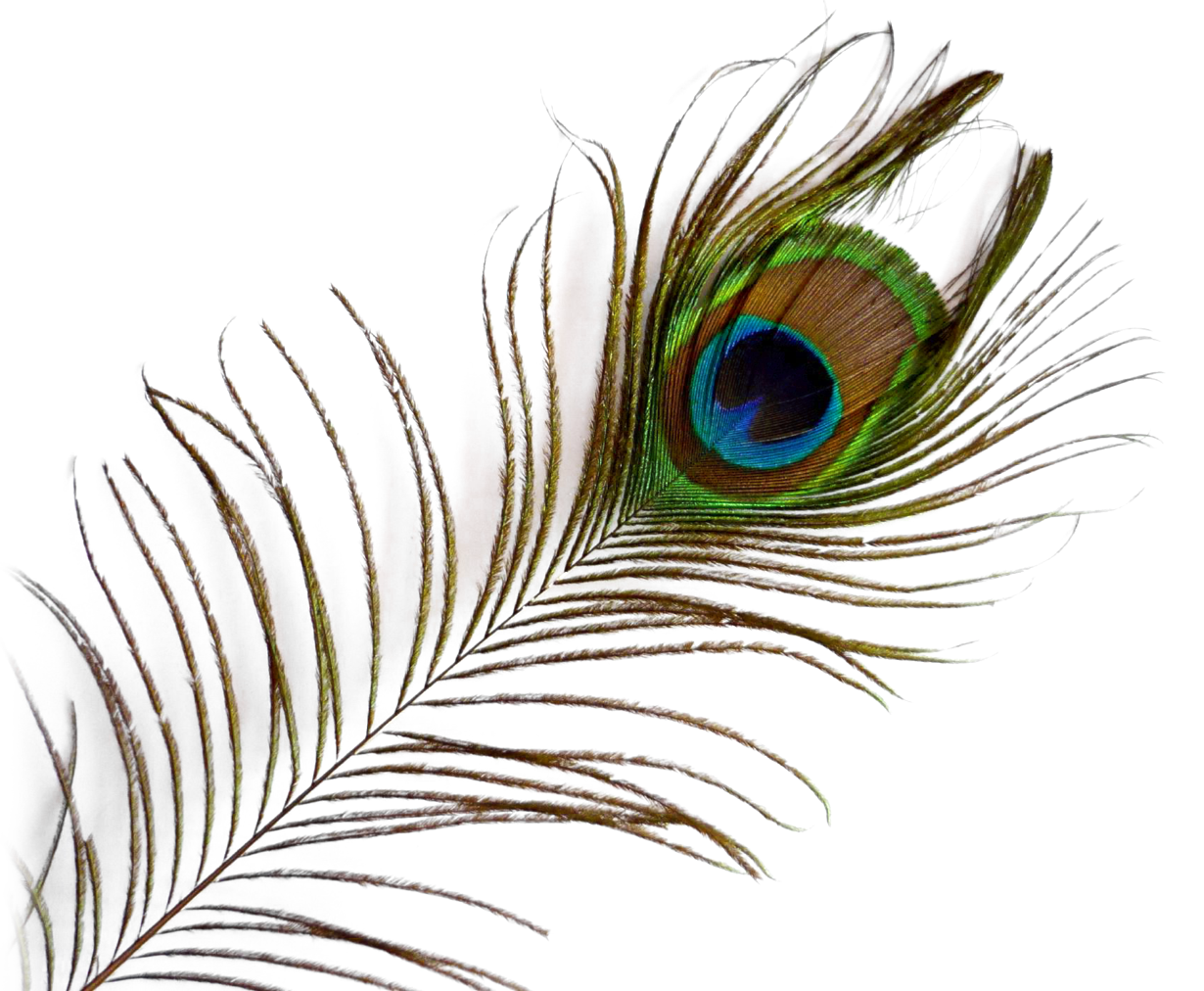 Image result for peacock feather gif