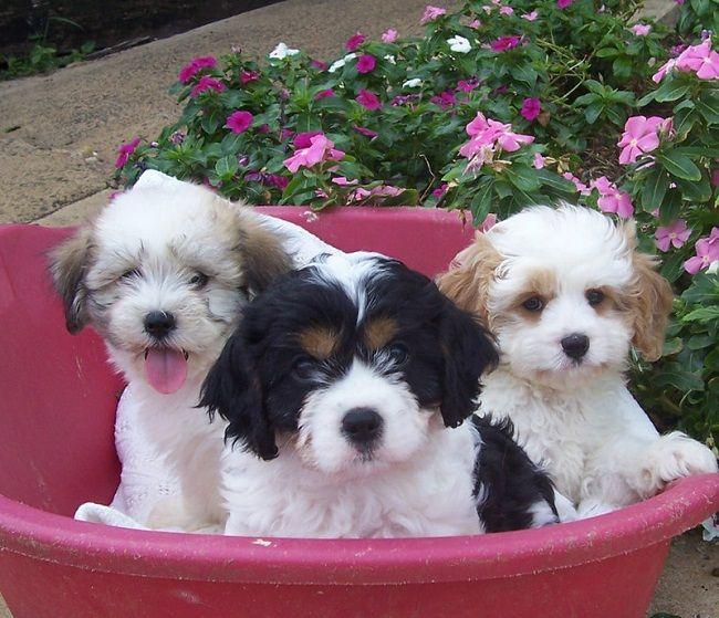maltese poodle puppies for sale brisbane   Zoe Fans Blog   Cute Baby