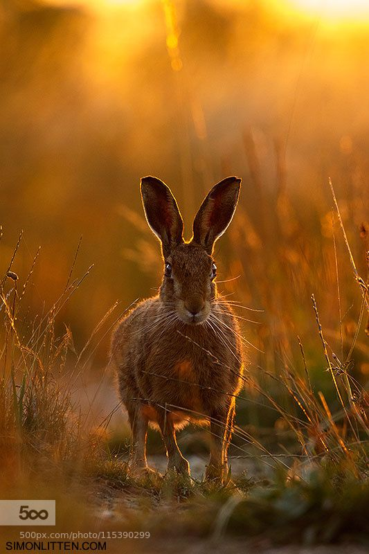 Brown Hare | Workshop Image by SimonLitten