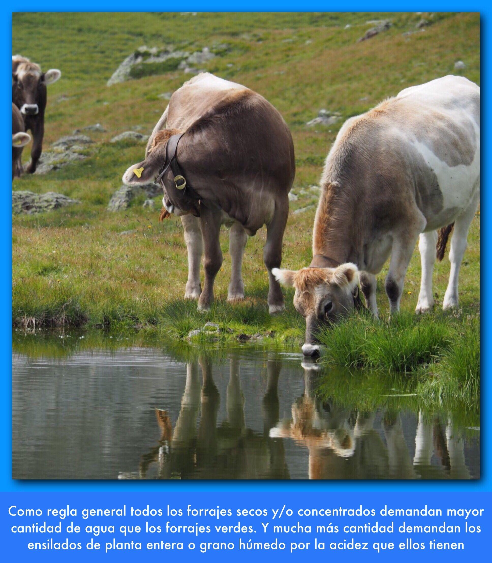 Consumo De Agua El Consumo De Agua Por El Animal Está