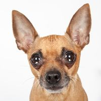 Cute Muttville mutt: Daphne 2081 (Chihuahua | Female | Size: small (6-20 lbs))