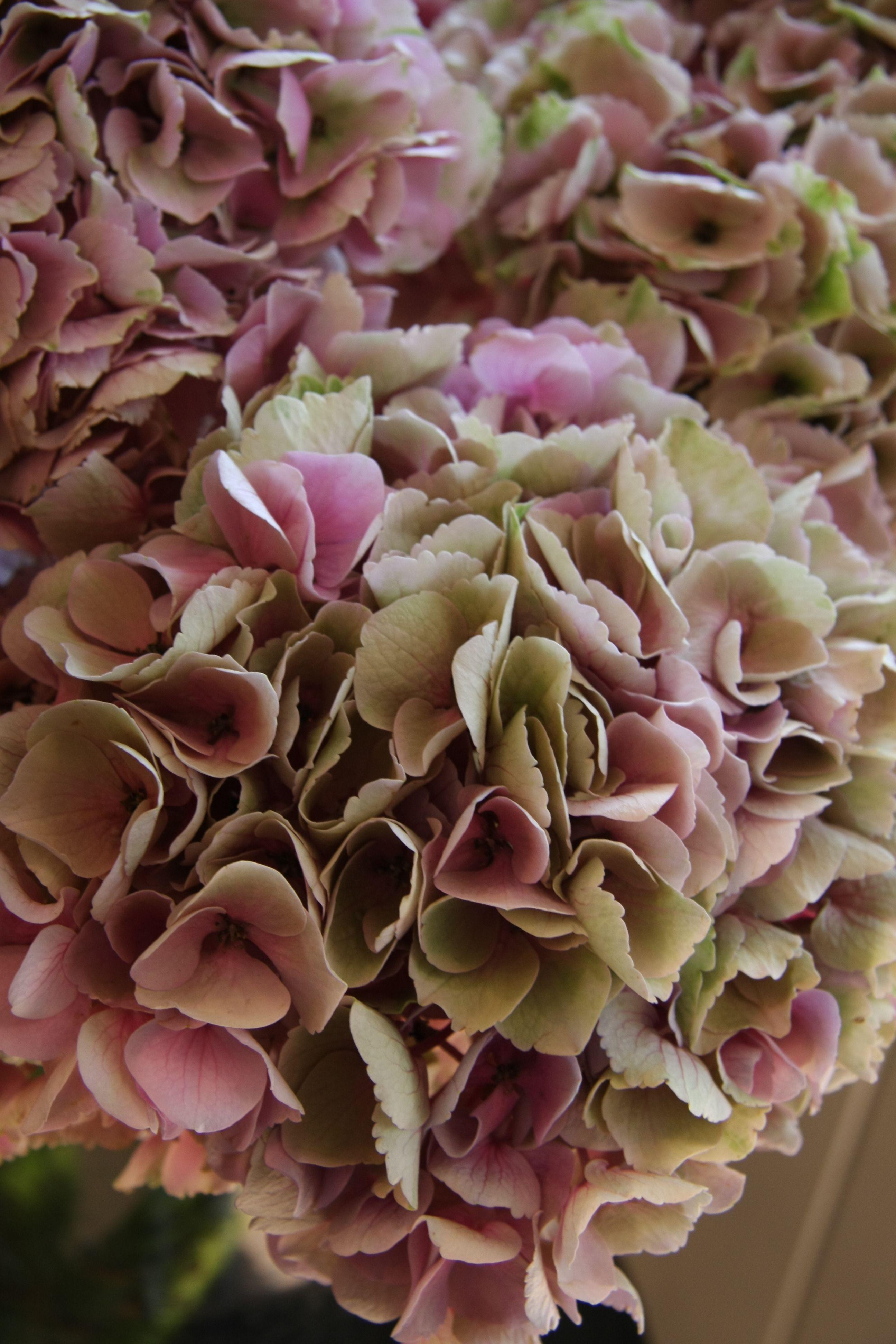 Hydrangea Peonies And Hydrangeas Hydrangea Flower Blooming Flowers