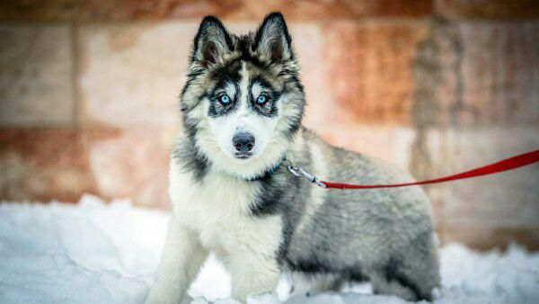 Victoria Velazquez On Twitter Husky Dogs Siberian Husky Dog Dogs Dog photos hd wallpaper download
