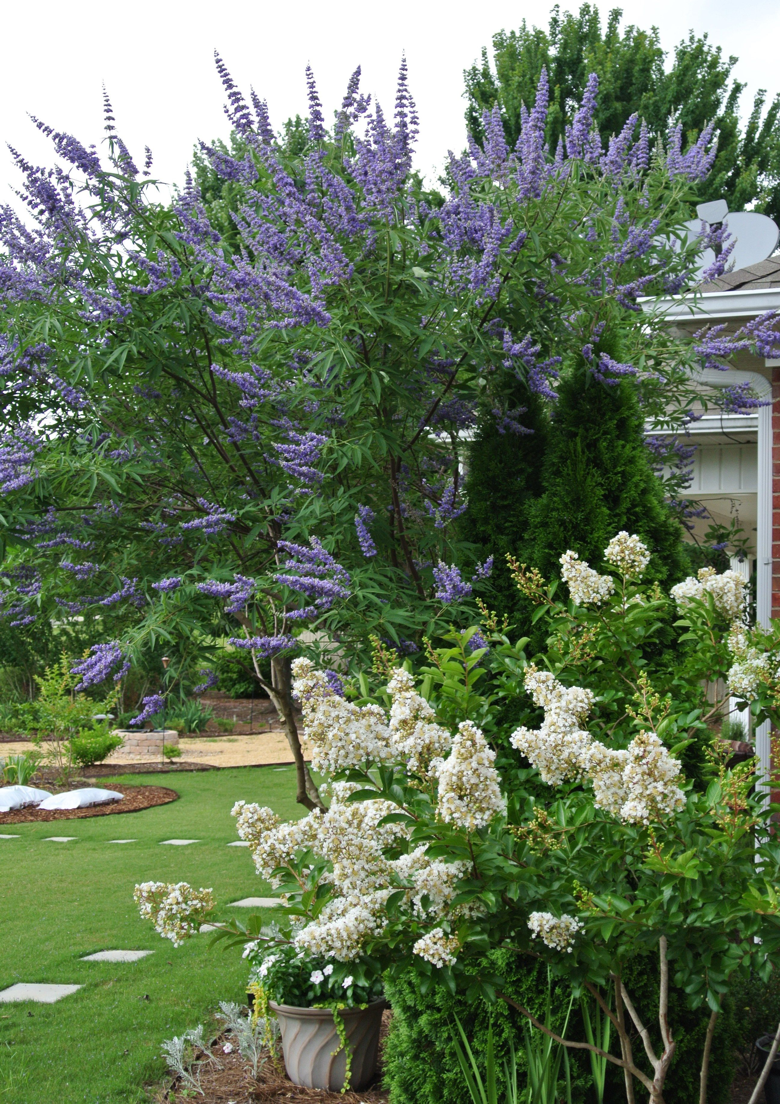 Mature Chaste Vitex and young Natchez Crape Myrtle. | Photos of My ...