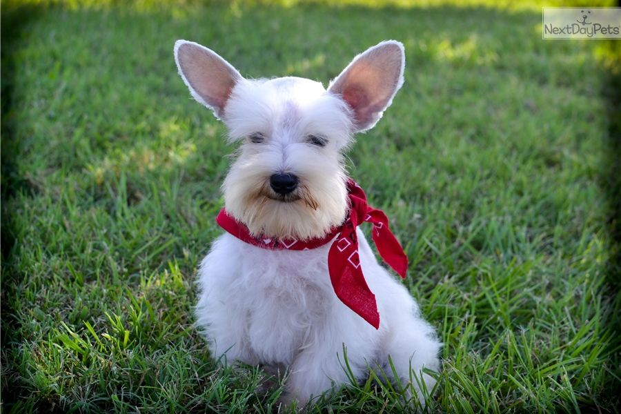 Schnauzer puppies for sale in east texas