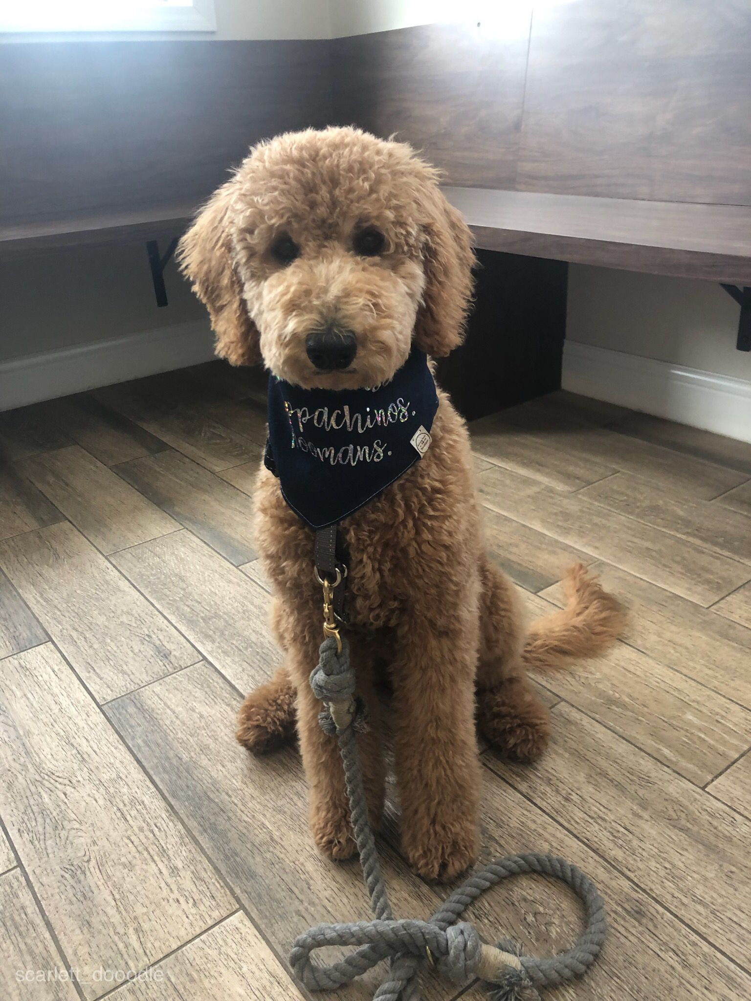 Doodle Goldendoodle Cuteanimals Cutepuppies Puppachino