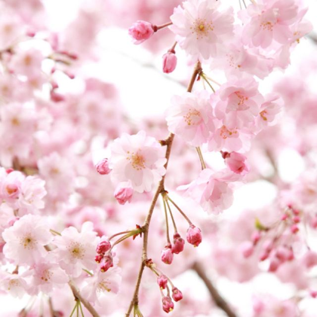 Love Cherry Blossoms Flower Backgrounds Pink Flowering Trees Flower Background Iphone