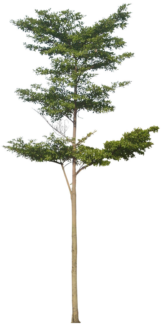 20 Tree PNG Images Free Cutouts for