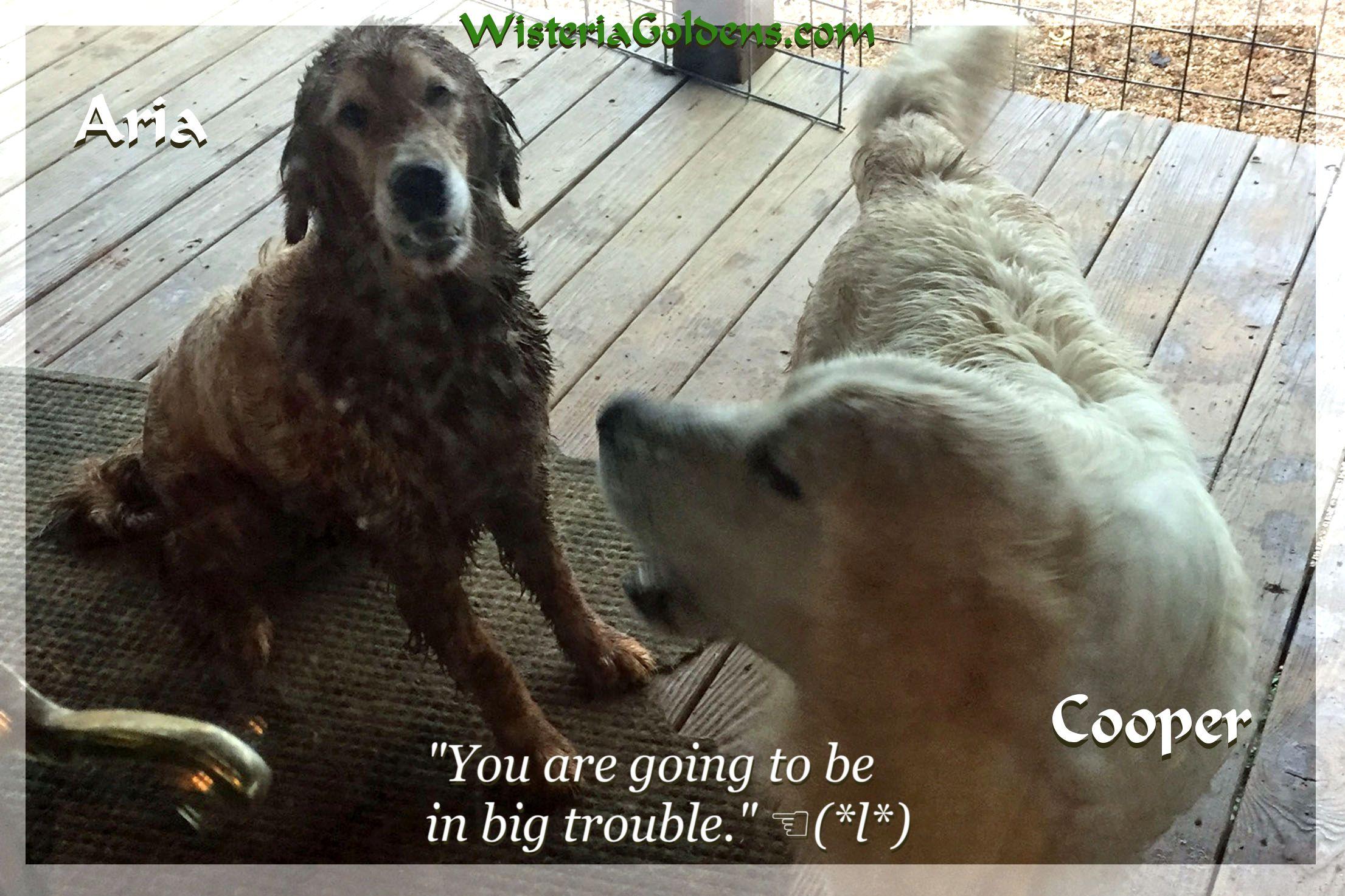 Golden Retriever Puppies Goldenretrieveroftheday Goldenretrieverlife Puppies Cute Puppies Puppy Dog Eyes