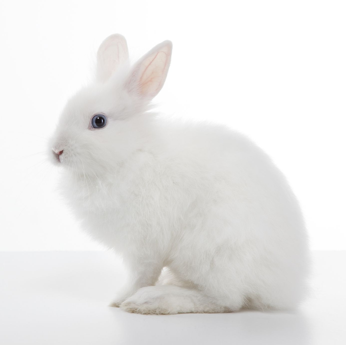 Cute White Baby Rabbit Best Wallpaper 19283 - Baltana |Awesome Baby White Bunnies