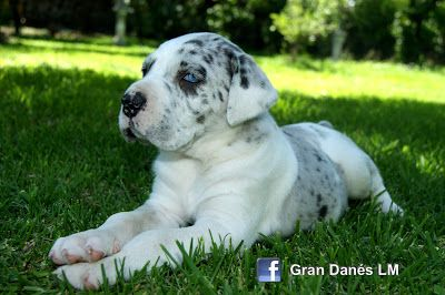 Gran Danes Lm Great Dane Little Giants Dane