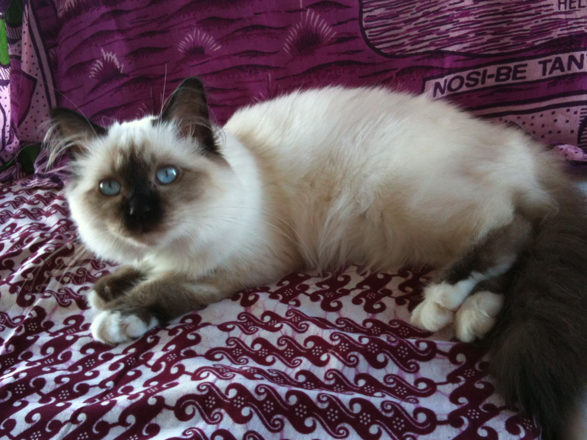 Lou-Soa ma princesse #birman #sacredebirmanie #chat #chaton ...