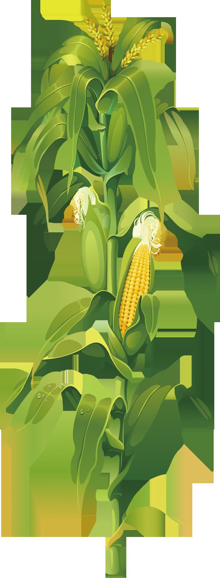 Https W7 Pngwing Com Path 619 784 867 Maize Corn On The Cob Drawing Plant Clip Art Corn E4b50ed950123c495502d3b9d1213b37 Png Di 2020 Tanaman Daun Gambar