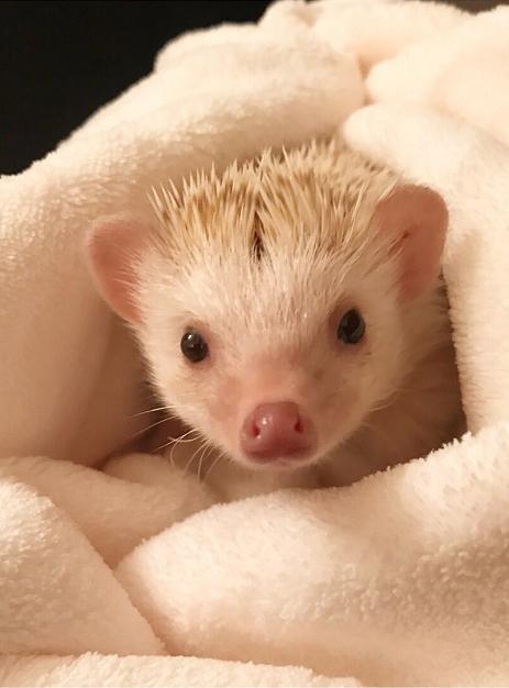 How To Raise A Pet Hedgehog Gloria Love Pets In 2020 Hedgehog Pet Funny Animal Memes Love Pet