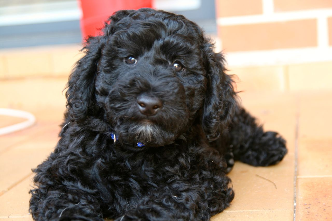 Black Goldendoodle Puppy Photos MiXeD BrEeD Dogs & PuPs