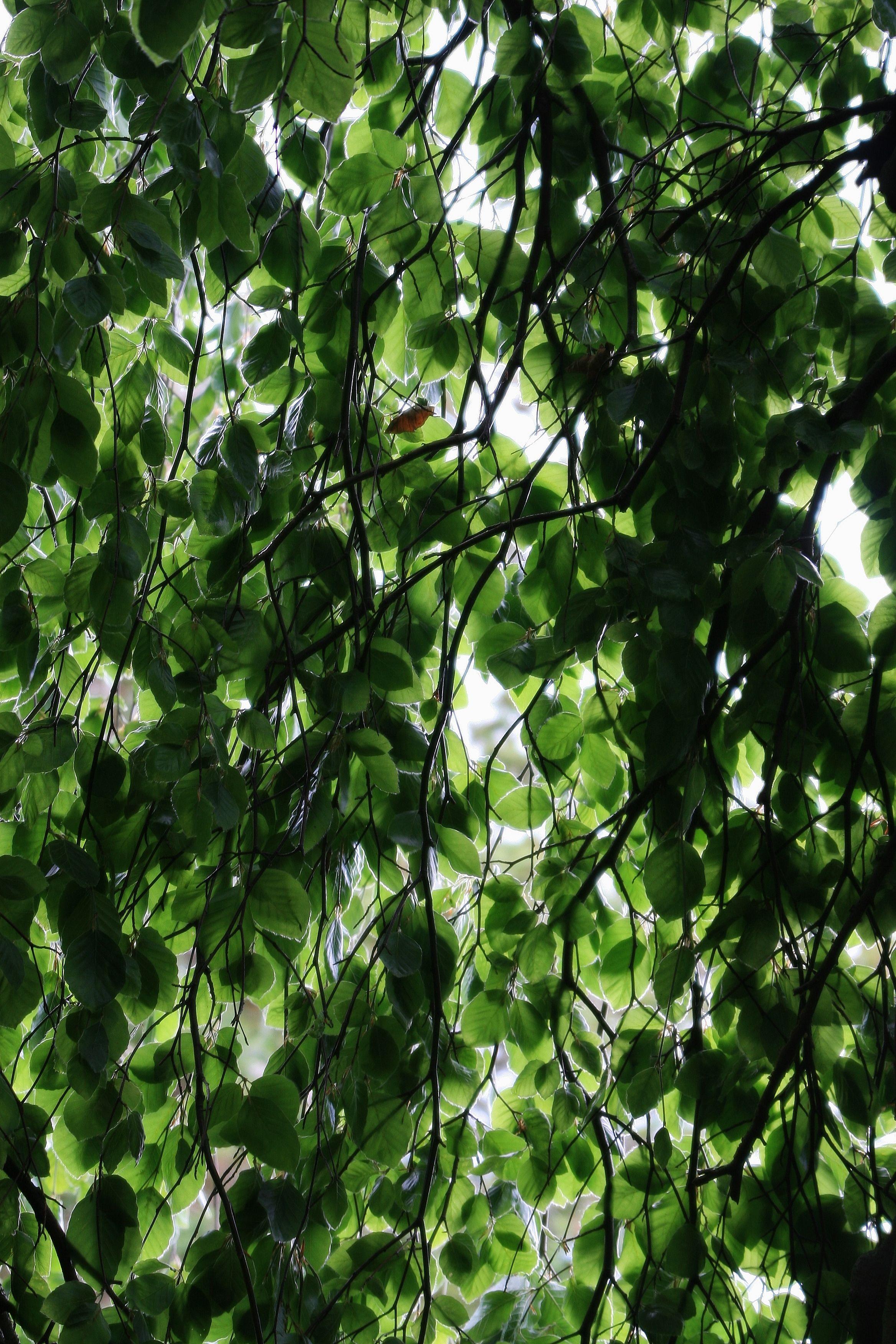 Another Weeping Beech Tree. | My Photographs | Pinterest | Beech tree