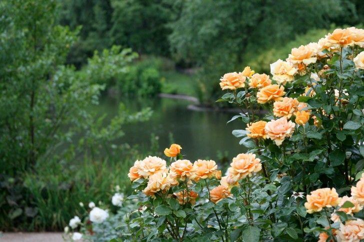 Queen Marys Garden Most Beautiful Rose Ever