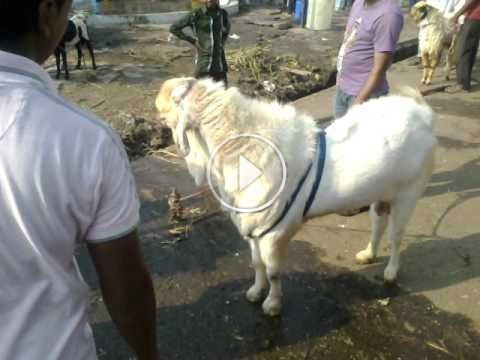 Funny Bakra Eid ul adha video Dailymotion | Funny Video | Eid, Eid