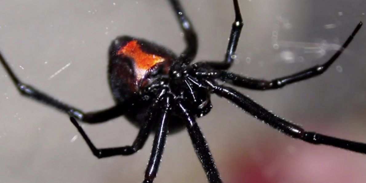 Here S What Happens When You Get Bitten By A Black Widow Poisonous Spiders Black Widow Spider Dangerous Animals