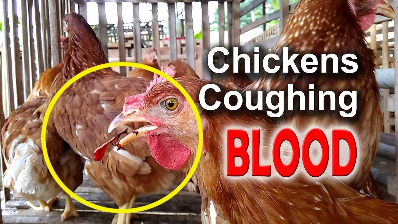 ILT Symptoms in Chickens, Infectious Laryngotracheitis