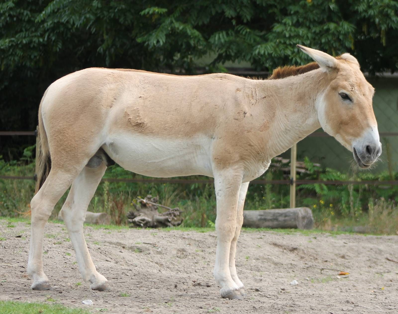 Onager (Equus hemionus) Big animals, Mammals, Horse breeds