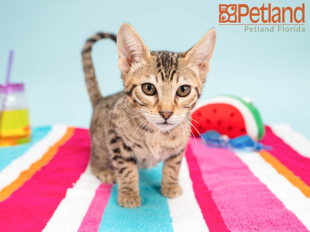 Petland Florida Has Savannah Kittens For Sale Check Out All Our Available Puppies Petlandpembrokepines Savannah Kittens For Sale Savannah Kitten Cat Day