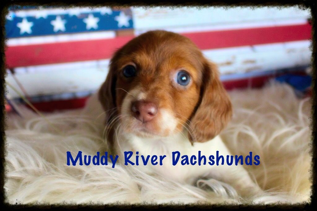 Miniature Dachshund Puppies In South And Central Texas Dachshund