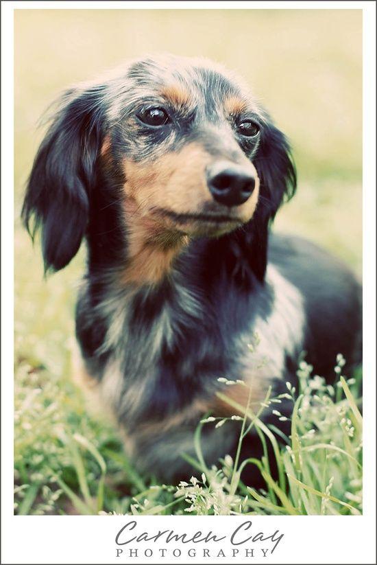 Blue Merle And Tan Long Haired Dachshund In Grass Dachshund Dog