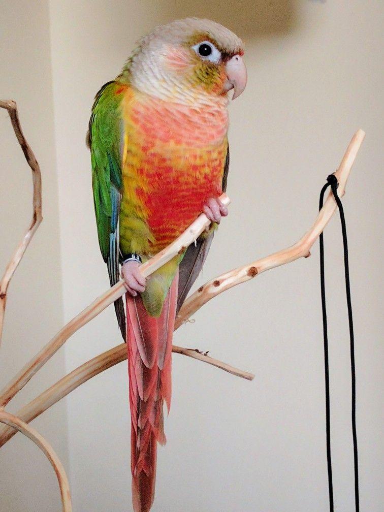 High-red pineapple green cheek conure | Bird | Pet birds