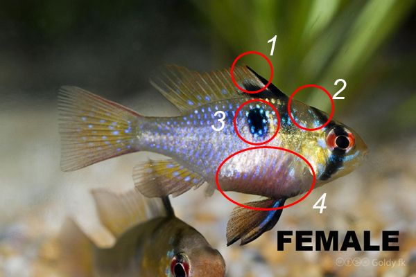 How To Sex German Blue Rams Microgeophagus Ramirezi Aqua