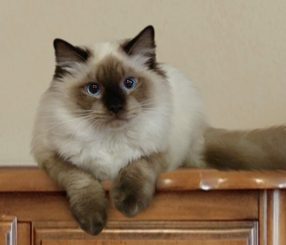 Orchid Blue Bicolor Female Ragdoll Kitten Cats Cat Breeds Beautiful Cats